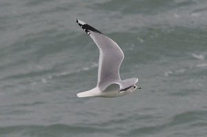 Common Gull (adult)