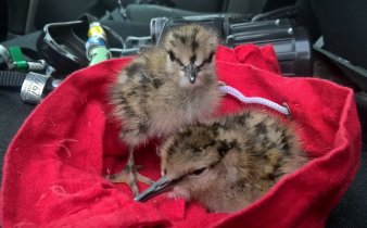 The very late chicks of C73