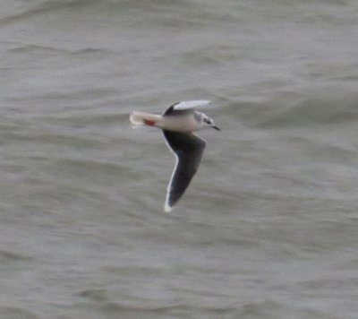 Little Gull Ad w Plymouth 31 Jan 2014 Laurie Allnatt