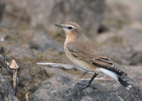 Wheatear, Greenland?? not sure