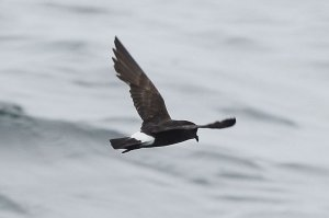 European Storm-petrel in wing moult