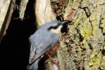 Nuthatch © David Easter, 3/10/2017, Saltrum House