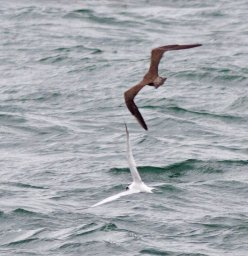 Long-tailed Skua Mount Batten Plymouth 2 Oct 2013 Graham Watson 2
