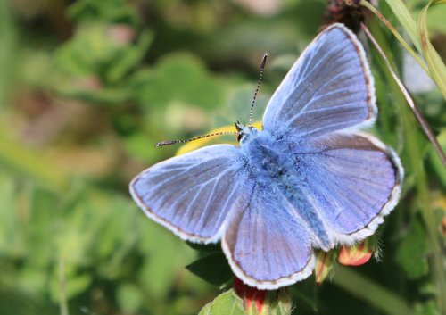Spectacularly gorgeous Male Common Blue