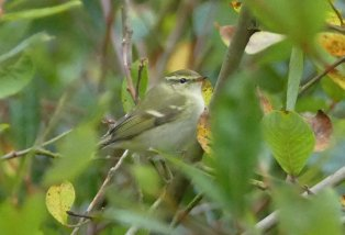 Yellow-Browed Warbler Berry Hd 071016ML