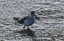 Greenshank maybe?