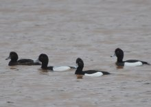 Scaup with male and female Tufted Ducks