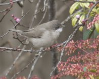 Lesser Whitethroat Paington Feb 2020