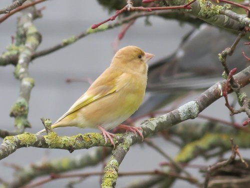 Greenfinch J.Marshall