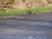 Common Crossbill f