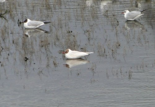 Leucistic adult Black-headed Gull