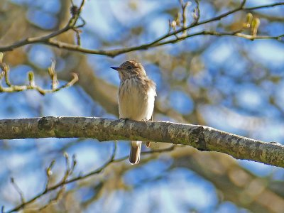 Spotted Flycatcher, Chambercombe 22.4.15 Derek Stacey