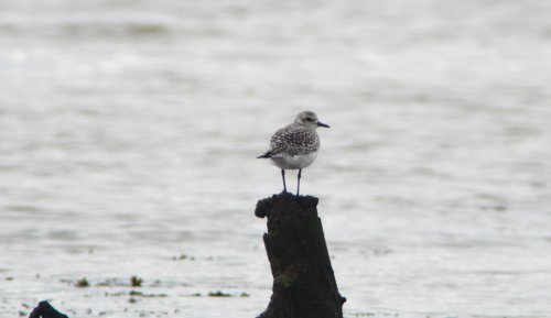 Grey Plover  at  Turf Locks
