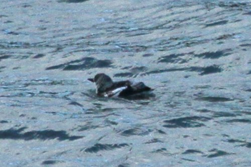 Black guillemot - poor record shot from cliff top
