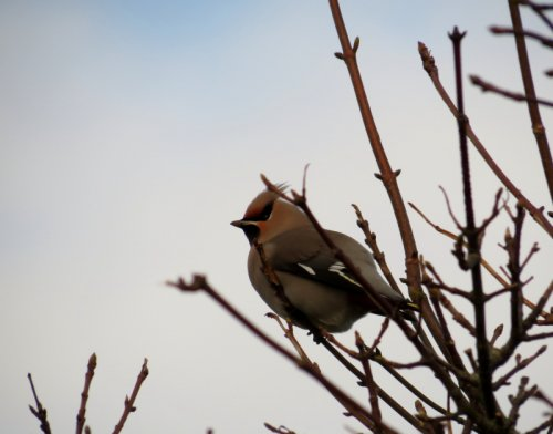 Waxwing, Berry Head