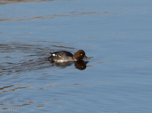 Goldeneye - Roadford - 8.2.2017