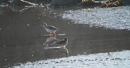 Spotted Redshank from BGM Viewing Platform