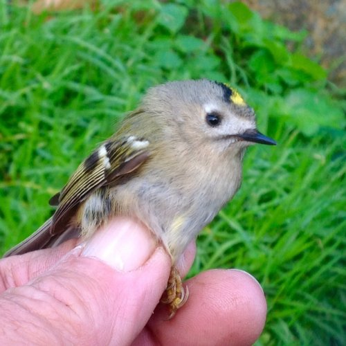 ' continental ' Goldcrest 1st. Yr. female