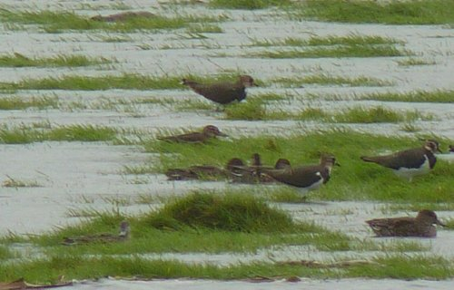 Garganey at the back in front of the Lapwing