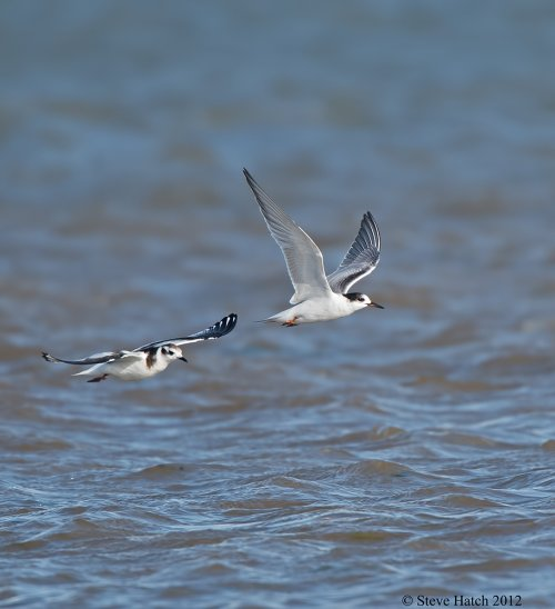 Common tern and Little Gull