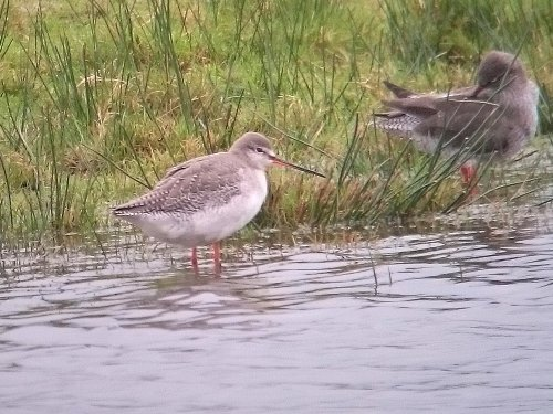 Spotted Redshank at Bowling Green