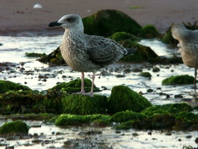 Yellow-legged Gull juv Broadsands 1st Aug 2013