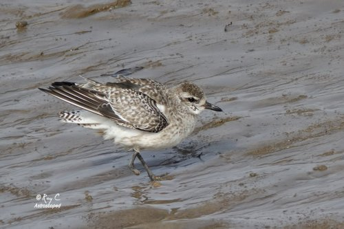 Grey Plover showing missing foot