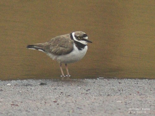 Little Ringed Plover - 26/7/2015 Trews Weir, Exeter