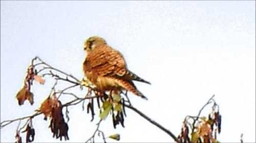 Female Kestrel Topsham Viewing Platform