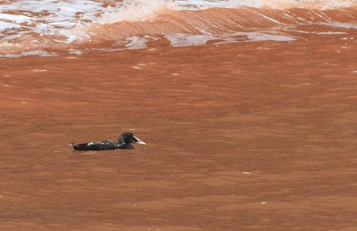 Common Eider, Budleigh 4th August 2014