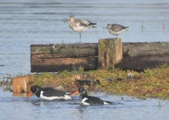 Bar-tailed Godwit, Knot and Oystercatcher