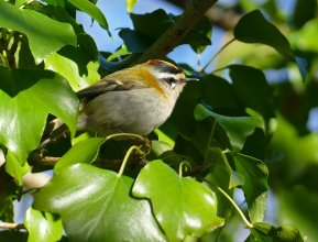 Firecrest Clennon Lakes 28 Jan 2017 ML