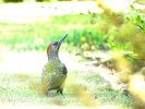 Green Woodpecker © Kenneth Bradley, 3/8/2020, High Garden, Kenton