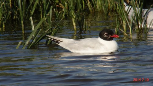 2nd summer Mediterranean Gull