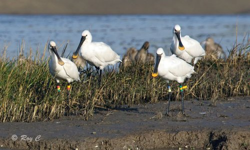 Spoonbills showing coloured rings