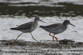 Lesser Yellowlegs with Redshank