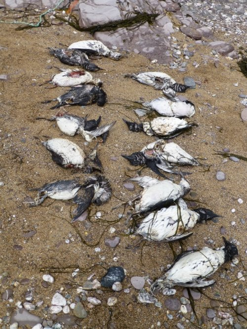 Some of the Dead Guillemots on Wembury Beach