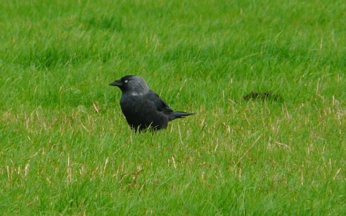 jackdaw - pale collared bird?