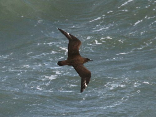 Great Skua passing close