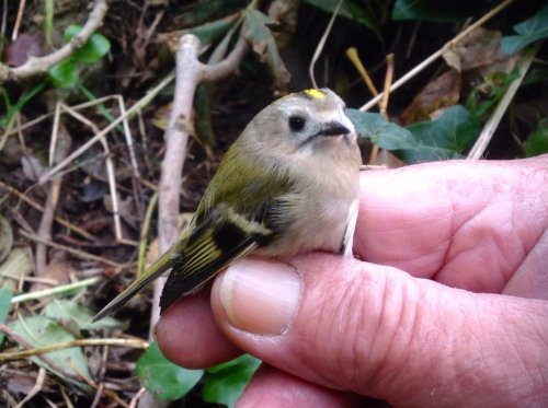 """ Continental "" Goldcrest. A little more pallid than some."