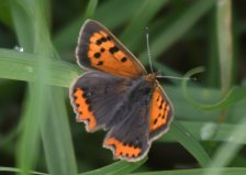 Small Copper, looks like a Male, 3rd brood?