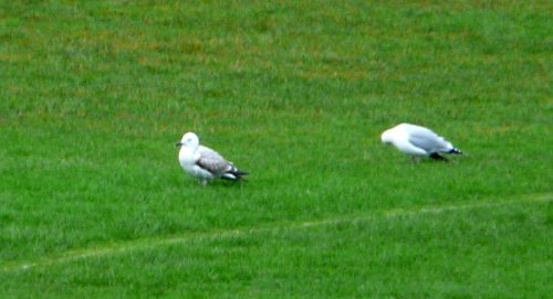 fw caspian gull with herring gull