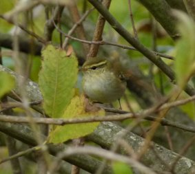 Yellow-browed Warbler Clennon Vly 26 Nov 13 ML