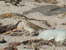 Water Pipit - zoomed and cropped