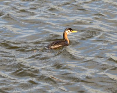 Red-necked Grebe Lower Tamar Lakes R Mudge 23.9.13