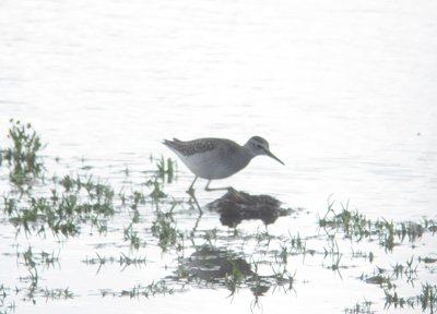 Wood Sandpiper, Budleigh Scrapes