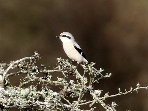 Great Grey Shrike, Emsworthy