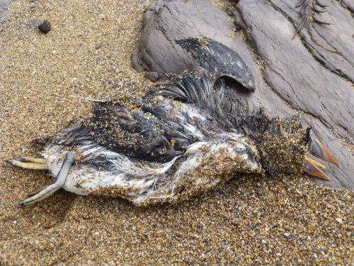 Dead Puffin on Wembury Beach