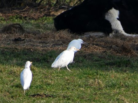 Cattle Egrets and 1 Little Teigngrace 240218 I Butt