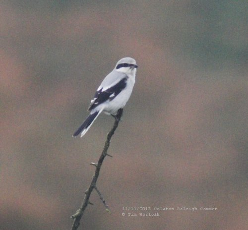 Great Grey Shrike - Colaton Raleigh Common 11/11/2013